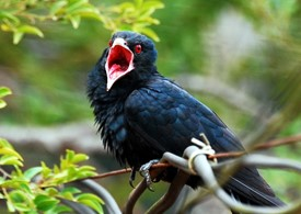 bird-asian-koel