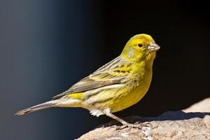 bird-canary