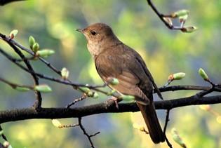 bird-nightingale